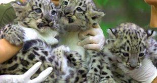 Почти 50 % благотворительных финансовых средств для реинтродукции леопардов израсходованы не по назначению