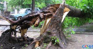Непогода снесла многолетнюю сосну в парке «Ривьера» Сочи