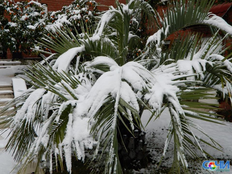 Сочинцев просят посодействовать очистить пальмы отснега