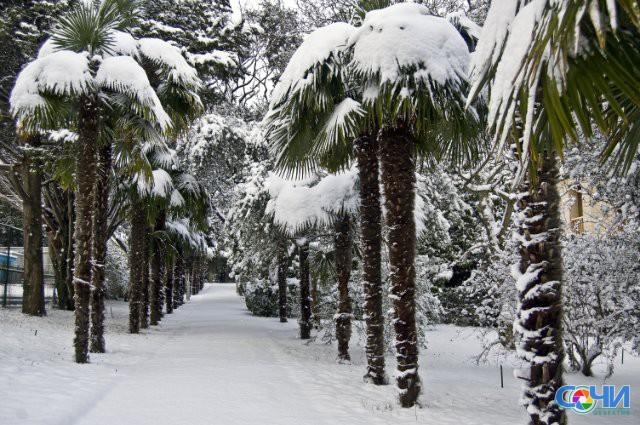 Мэрия Сочи призвала спасти пальмы отснега