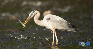 Зимующие в Сочи цапли воруют рыбу форелевого хозяйства