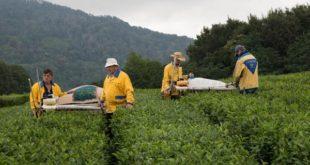 Учёные исследуют морозостойкость сортов сочинского чая