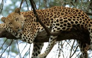 leopard28-07-2015